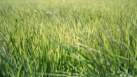 Rice panicle shaking in the wind Archivo