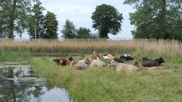 Herd of cows lying down on a pasture near the river Footage