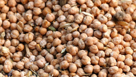 The increase in prices of 100 usa and dry chickpeas,dry chickpeas harvest and Live Action