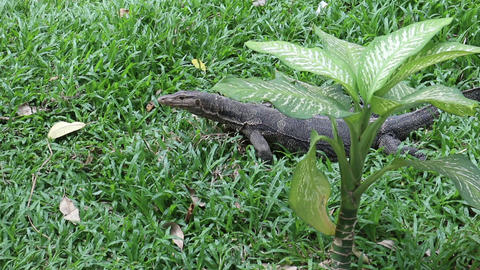 Asian water monitor lizard behind dumb cane plant Footage