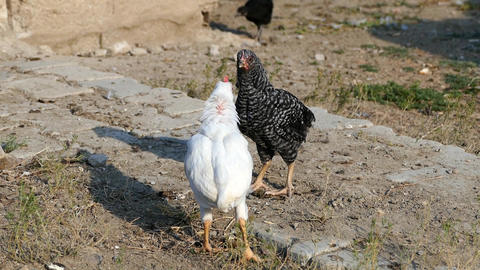 two cocks fighting with each candidate, are cute little cock fighting 영상물