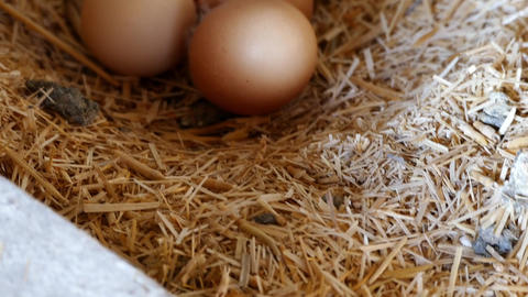 natural organic chicken eggs, in the coop,poultry natural chicken eggs Live Action