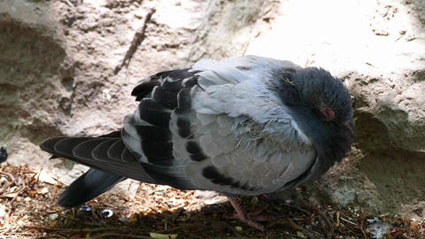 patient pigeon in city park Live Action