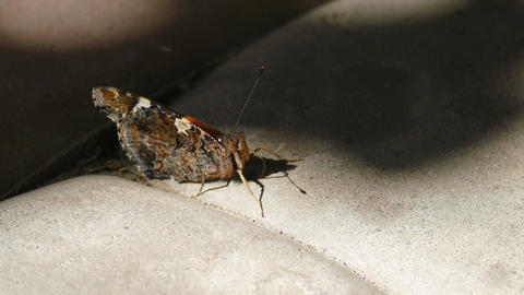 Red Admiral Butterfly Sitting On The Sidewalk Tile Live Action