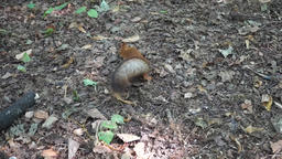 Red Squirrel in the forest Footage