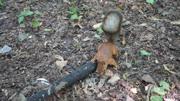 Red Squirrel in the forest Stock Video Footage