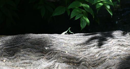 Praying Mantis on a log Live Action