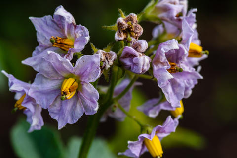 Purple flowers of potato plant Photo