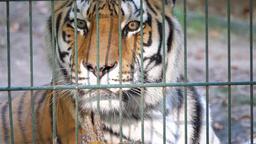 The Siberian tiger (Panthera tigris altaica). Wild... Stock Video Footage