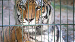 The Siberian tiger (Panthera tigris altaica). Wild animals in captivity Live Action