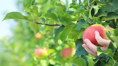 Ripe Shinano Red apple variety close-up Footage