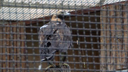 The golden eagle (Aquila chrysaetos) in captivity Stock Video Footage