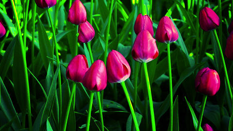 Tulip flowers blooming in Spring Live Action