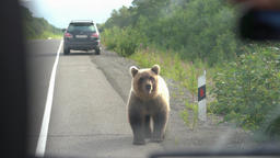 Hungry brown bear walks an road and begs for food from people Footage