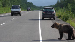 Alone hungry brown bear walking on road and begs food from people Footage