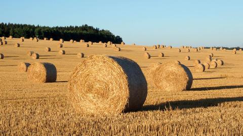 Hay bales on the field after harvest. Agricultural field. Hay bales in golden Footage
