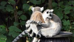 The ring-tailed lemur. Lemur catta Live Action