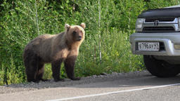 Hungry brown bear walking on road and begs food from people Footage
