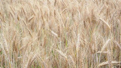 Wheat field. Golden ears of wheat on the field. Background of ripening ears of Footage