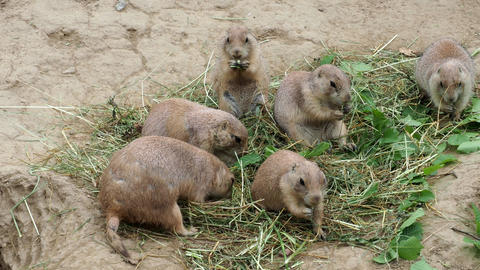 Prairie dog (Cynomys ludovicianus) Stock Video Footage