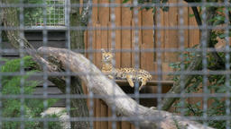 The serval (Leptailurus serval), also known as the tierboskat Footage