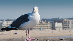 Seagull on the Venice Beach Pier Footage
