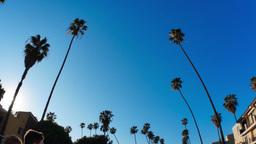 Driving Under Beverly Hills Palm Trees Footage