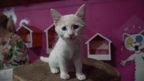 sweet white kitten Footage