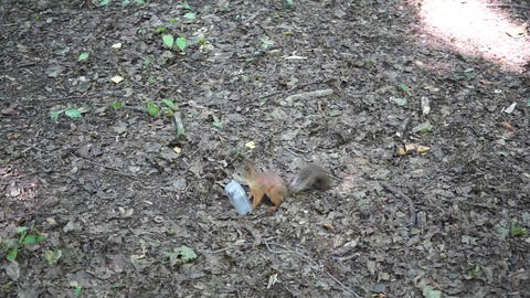 Red Squirrel in the park running away with plastic food container GIF