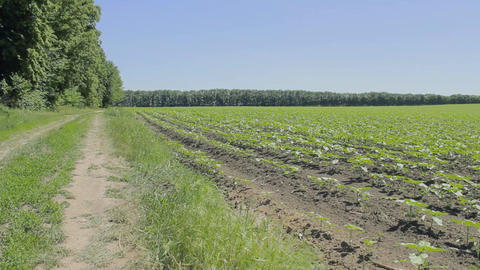 Panorama of the agricultural plants in the field ビデオ