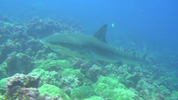 Big shark on background underwater landscape in sea of Galapagos Islands Footage
