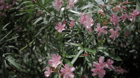 tropical shrub blooming pink flowers Footage