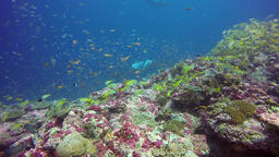 Manta ray relax in striped snapper school fish seabed in clear blue water ocean Footage