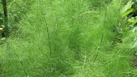 Florence Fennel growing in garden soil Footage