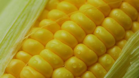 Water drop on Fresh ripe peeled sweet corn high vitamin food from nature ライブ動画