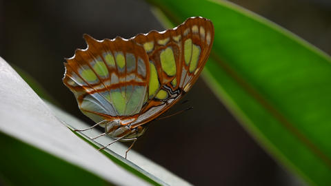 Green and brown tropical butterfly on leaf 영상물
