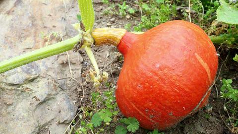 Hokkaido pumpkin in garden. Growing hokkaido pumpkin on a vegetable garden Live Action