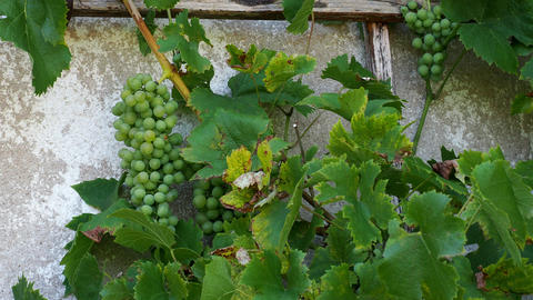 Bunch of ripe green grapes growing on a vine with leaves on the wall of a winery Footage
