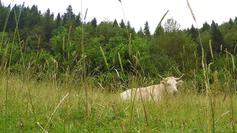 Cow Lying In The Field In a Forest Valley GIF