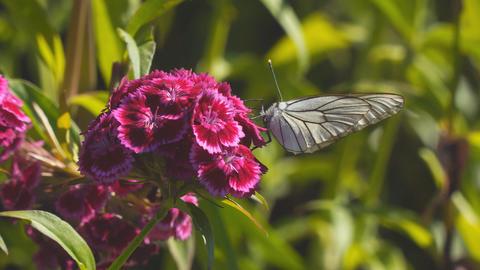 Butterfly aporia Crataegi on red flower 影片素材