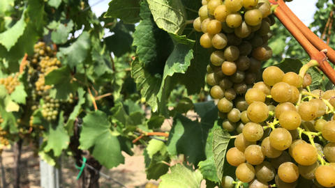 Bunch of white vine grape berries on trunk with green leaves in vineyard Footage