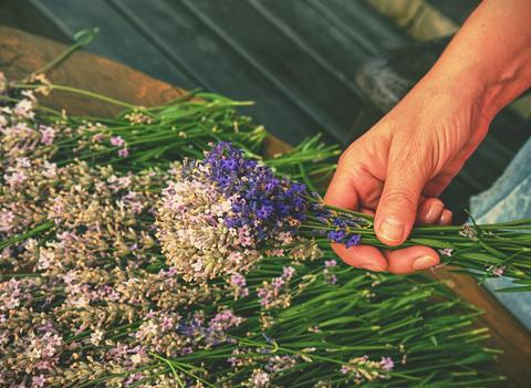 Female hands hold aromatic herbal stalks. French Provence フォト