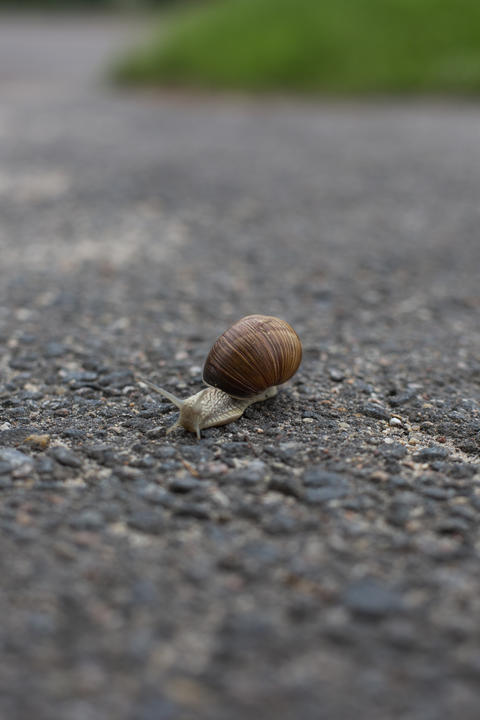 Snail crawling on the asphalt road. Burgundy snail, Helix, Roman snail, edible フォト