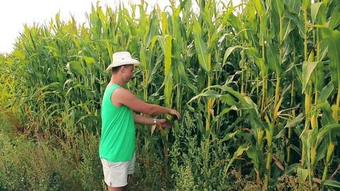 A young agronomist rips off an ear of corn in the field 影片素材