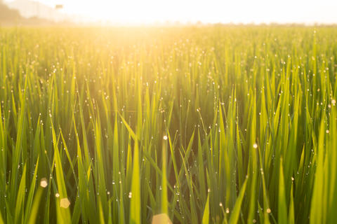 Close up green rice field with sunrise in the morning フォト