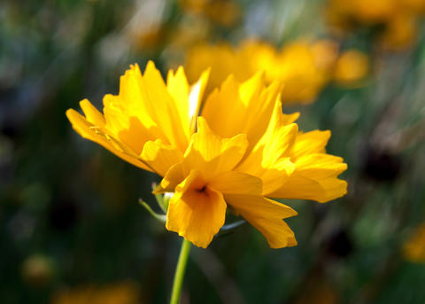 Yellow blooming flower Photo