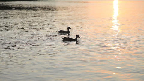 A pair of ducks swimming on the water against a sunset background Archivo