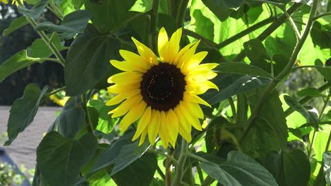 Closeup of a brilliant yellow sunflower hanging downward in the sunlight in a 영상물