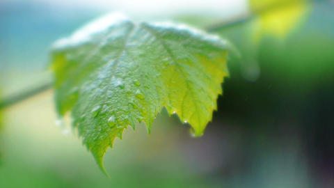Grape leaves after the rain Footage