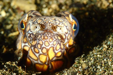 Snake eel フォト